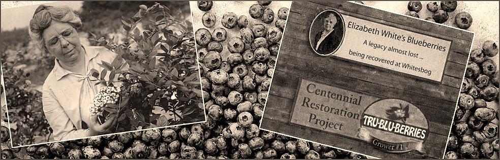 Elizabeth Coleman White picking blueberries in 1920.